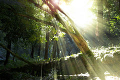 Forest with sunbeams Stock Images