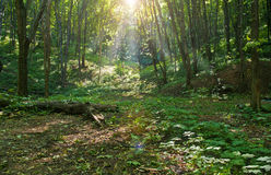 Forest and sunbeams Stock Photos