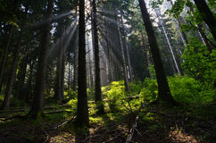 Forest in sunbeams Royalty Free Stock Image