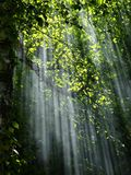 Forest, Sunbeams, Trees, Sunlight Royalty Free Stock Images