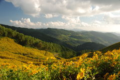 Forest sunflower field in Northern Thailand Royalty Free Stock Photo