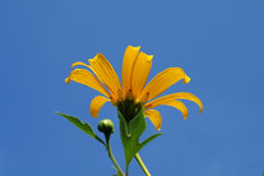 Forest sunflower or marigold. The marigold is a local flower in northern of THAILAND Royalty Free Stock Photos