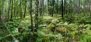 Forest in sunlight. Panoramic image Royalty Free Stock Photo