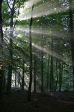 Forest Sunlight. Atmospheric low light image of early morning sunlight bursting through the tree canopy to reach the forest floor. Taken on a misty morning Stock Photo