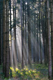 Forest sunlight  Royalty Free Stock Image