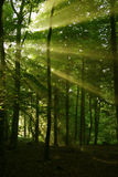 Forest Sunlight. Atmospheric low light image of early morning sunlight bursting through the tree canopy to reach the forest floor. Taken on a misty morning Royalty Free Stock Photos