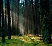 Forest With Sunlight Royalty Free Stock Image