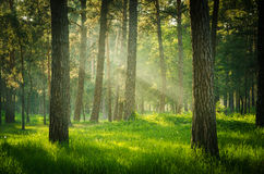 Forest. Sunlight green forest in summer time royalty free stock photos