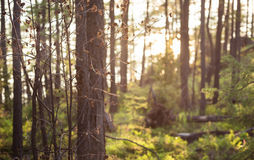 Forest Sunlight Stock Image