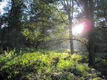 Forest Sunlight stock photography