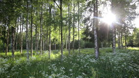 Forest in the Sunlight stock footage