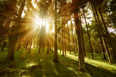 Forest sunny. Forest green.  Bright rays of the sun passing through the branches of trees Stock Images