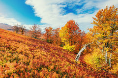 Forest in sunny afternoon while autumn season. Carpathians. Ukra Stock Photo