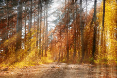Forest sunny autumn landscape -row of autumn yellowed trees under autumn sunlight. Royalty Free Stock Photos