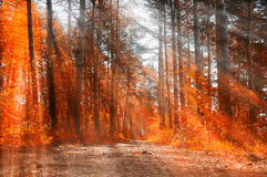 Forest sunny autumn landscape -row of autumn yellowed trees under autumn sunlight. Royalty Free Stock Images