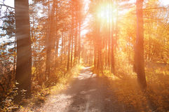 Forest sunny autumn landscape -row of autumn yellowed trees under autumn sunlight. Stock Images