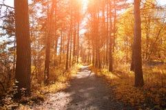 Forest sunny autumn landscape -row of autumn yellowed trees under autumn sunlight. Stock Photography
