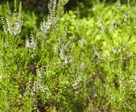 Heather bushes in a forest glade. Stock Photography