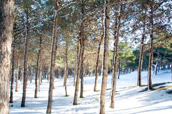 Forest on a sunny winter day Stock Images