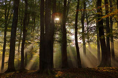 Forest with sunrays Stock Image