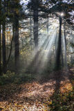 Forest Sunrays Royalty Free Stock Images