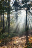Forest Sunrays Stock Image
