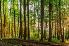 Forest Sunset. Bavarian Summer Forest  Landscape picture from a green european summer forest in the setting sun Royalty Free Stock Photography