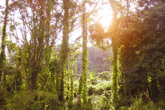 Forest and sunset; Royalty Free Stock Photo