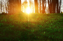Forest sunset landscape - forest trees with grass on the foreground and sunset light shining through the trees. Stock Photography