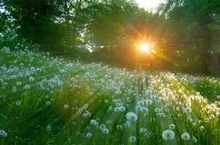 Forest sunset landscape - trees and fluffy dandelions on the foreground under soft sunlight royalty free stock images