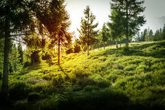 Forest with sunset in Poland. Spruce, pine trees forest with sunset in Poland Royalty Free Stock Photography