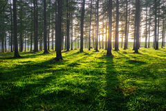 Forest at sunset with shadows Stock Photo