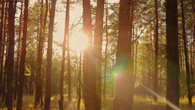 Forest at sunset in summer stock video