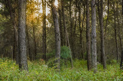 Forest at sunset Royalty Free Stock Photo