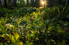 Forest Royalty Free Stock Images