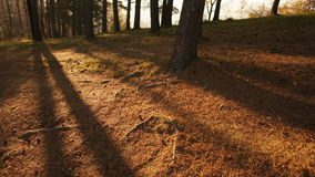 Forest sunset timelapse. Sunset timelapse in a forest, tree shadows moving and light becoming dim