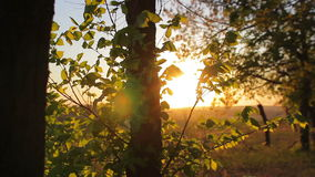 Forest in the sunset, trees close-up. stock footage