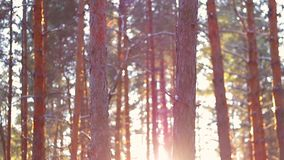 Forest at sunset in winter. The camera moves from the bottom up stock footage