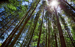 Forest Sunshine Royalty Free Stock Photo