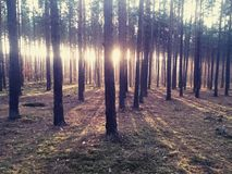 Forest sunshine Stock Photography