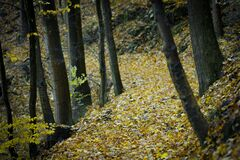Forest Surrounded by Yellow Leaves on Ground Royalty Free Stock Photo