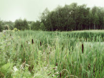 Forest swamp. Green grass reed stock photos