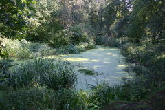 Forest swamp. Beautiful forest swamp in summer day Royalty Free Stock Images