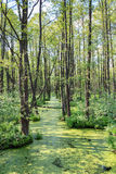 Forest in swamp Stock Image
