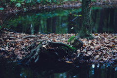 Forest swamp Stock Photos