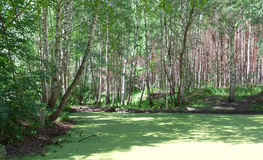 Forest swamp. Royalty Free Stock Photos