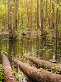 Forest swamp Royalty Free Stock Image