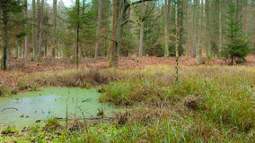 Forest swamp landscape Stock Photography