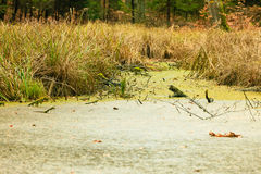Forest swamp landscape Royalty Free Stock Images