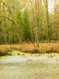 Forest swamp landscape Royalty Free Stock Photos